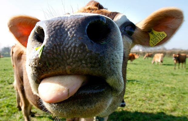 cow-close-up_1374836i